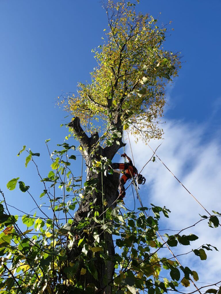 Rigging - Lime Tree Removal - Withington