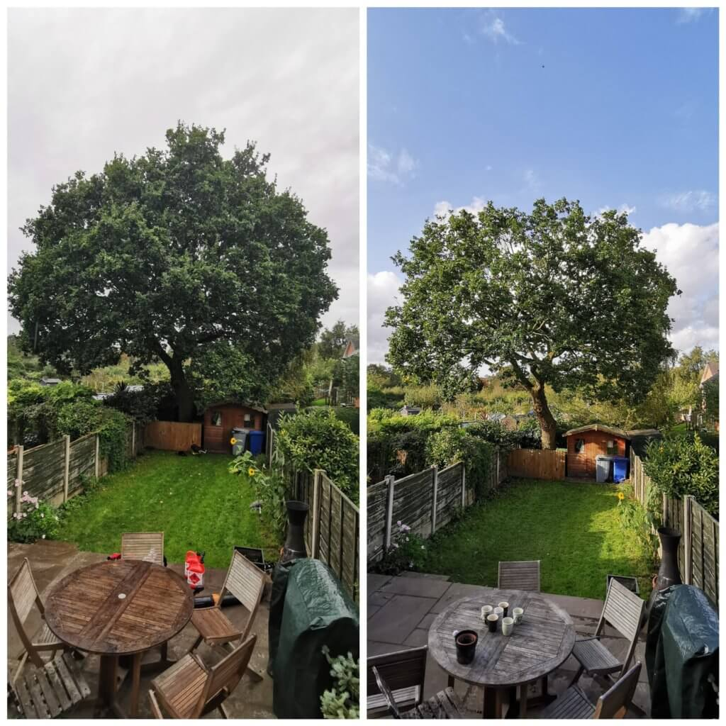 reduction of a beautiful oak tree in Bowdon