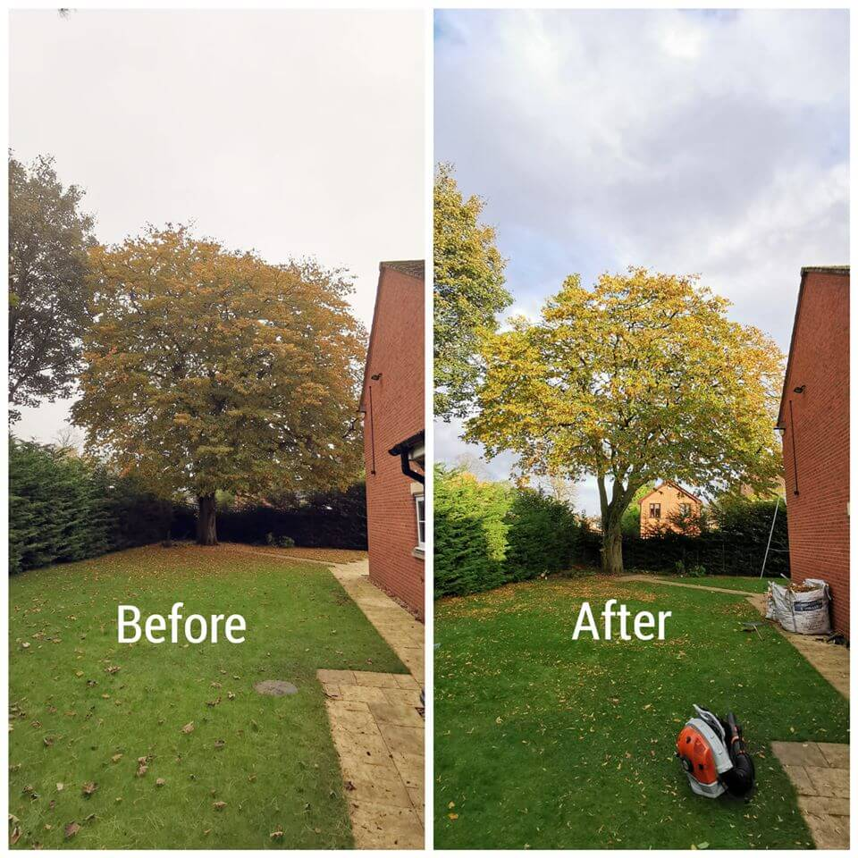 Recent work - Before and after shot of a Hornbeam reduction in Wythenshawe