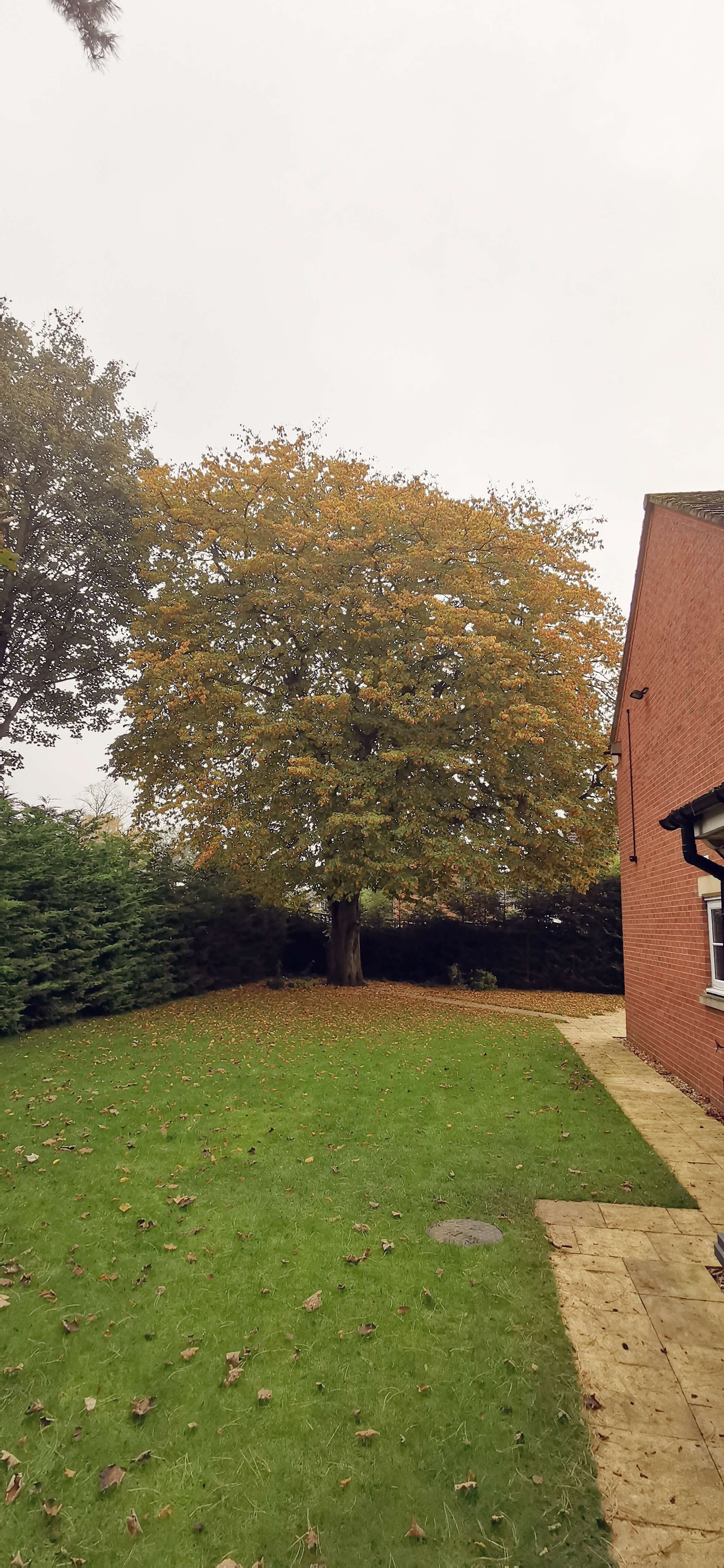 Before shot of a mature Hornbeam in Wythenshawe